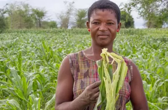 PEST INVASION THREATENS MALAWI HARVEST