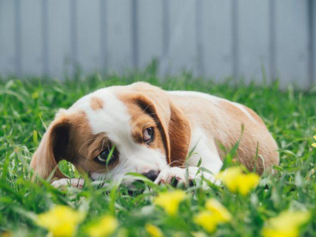 犬の甲状腺