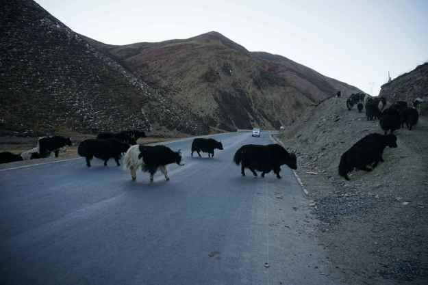 Yaks, you gotta love them. Huge, imposing beasts, but as skittish as chickens, you never new which way they would scatter and they were always wanted to be on the other side of the road whenever I was carooming down a fast descent - usually singing 'Hey Ya(k)' at the top of my voice.