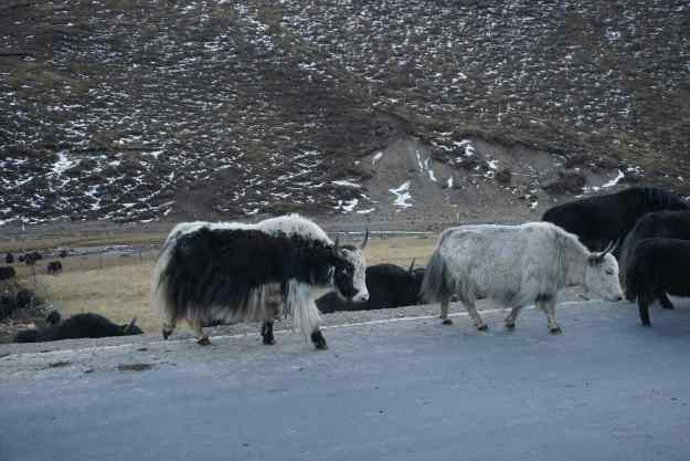 Yaks (three different kinds).