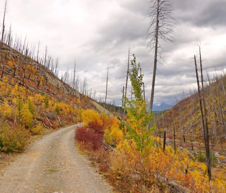 Autumn colours brighten up an ugly clear cut on the Whitefish Divide