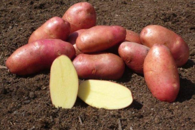 Как правильно выращивать картофель Ред Скарлет?