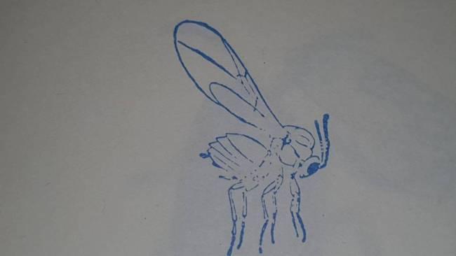 Взрослое насекомое (имаго) обыкновенной дубовой орехотворки