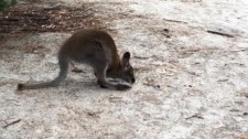 wallaby at the parking lot!