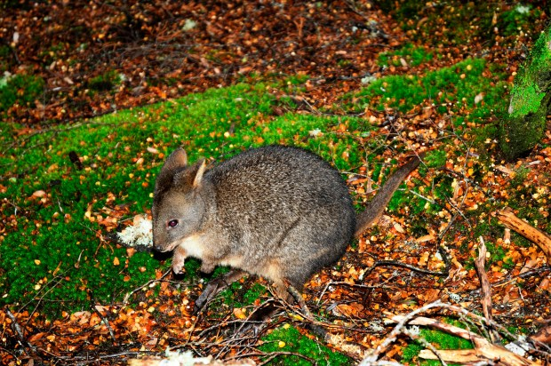 pademelon or Rofous Wallaby