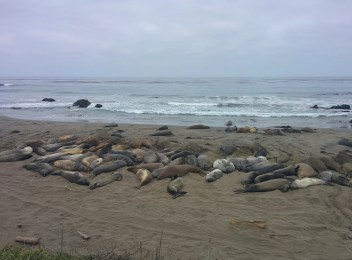 2nd stop at the elephant seal rookery.
