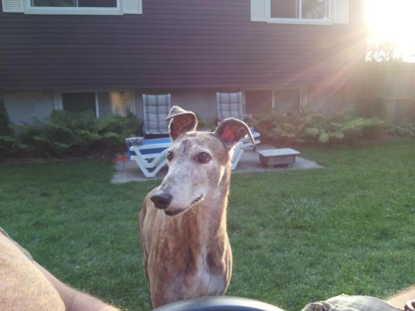 Greyhound in the spotlight