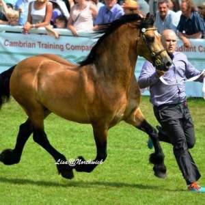 Corscaron Cymro Llwyd. Welsh Cob Stallion