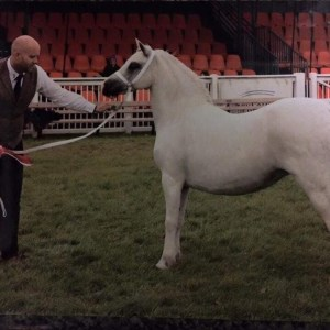 Lot 07. Pencraig Briallen. Welsh Section A Mare