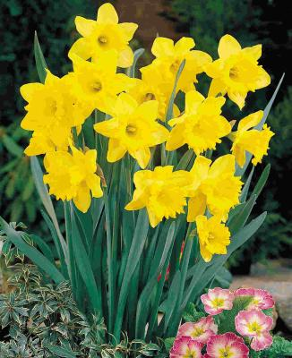 feeding-spring-daffodils-hyacinths-and-crocus-14911