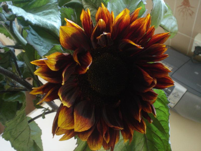 black eyed sunflower