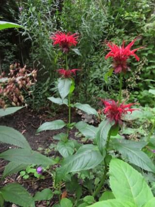 28 augustus 2018: afgelopen najaar geplant, nu in volle glorie: de Monarda 'Gardenview Scarlet', oftewel Bergamotplant.