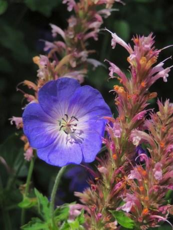 3 juli 2018: als een rots in de branding staat deze blauwpaarse geranium tussen de vlinder- en insectenplant Agastache.
