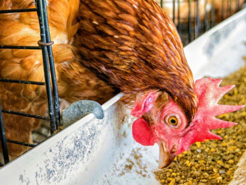 Продуктивность мясных кур зависит от потребления ими корма