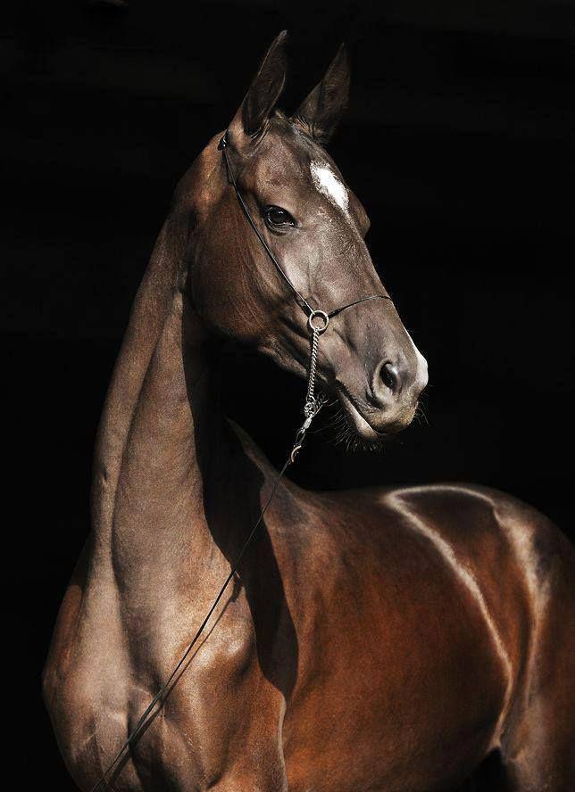 Jenis Jenis Kuda Di Dunia : jenis, dunia, Akhal-Teke, Arab., Kuda-kuda, Jenis, Akhal-Teke., Kondisi, Stabil