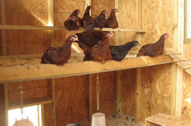 Можно ли есть курицу убитую хорьком