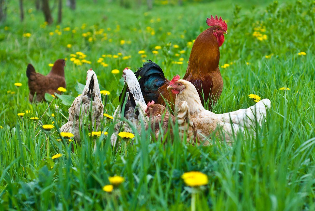 Комплексная добавка «Фелуцен» улучшит характеристики продуктов независимо от условий содержания птиц