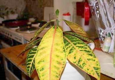 Почему желтеют листья у кротона