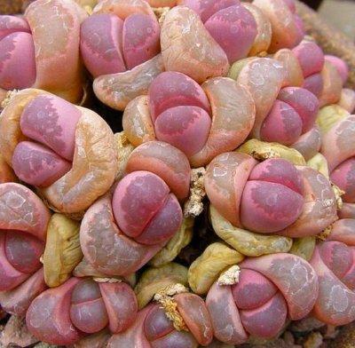 Кактус живой камень. Знакомимся с удивительным растением литопс