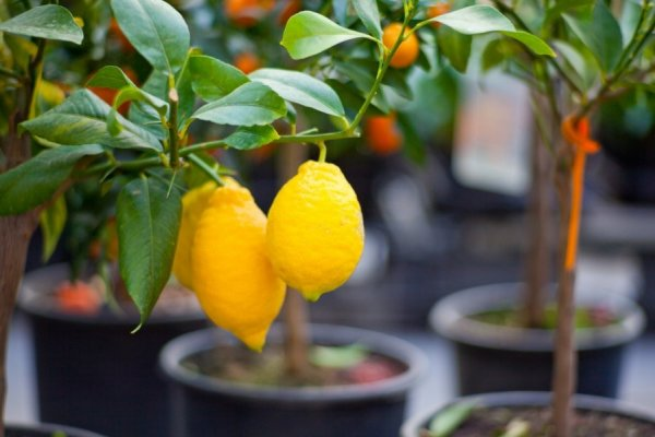 Уход за лимоном в домашних условиях. Уход за комнатным лимоном: основные рекомендации Комнатный лимон уход в домашних условиях