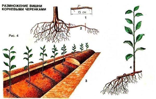 Как привить вишню на черешню летом зелеными черенками