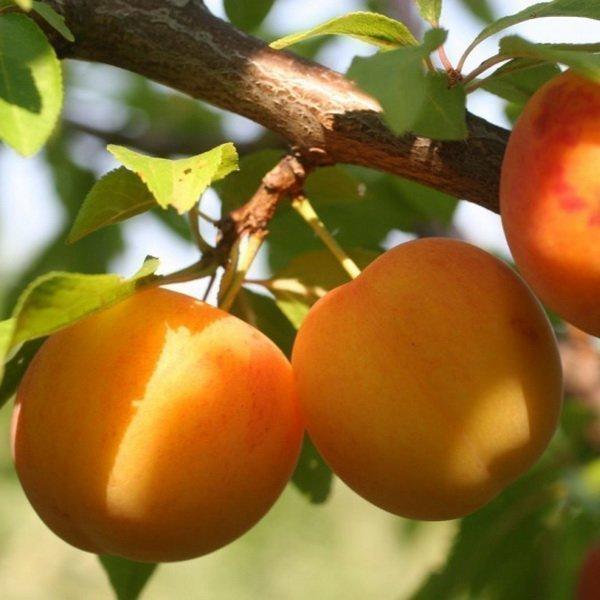 Как правильно посадить алычу весной. Как вырастить алычу: советы новичкам. Подготовка саженцев перед посадкой