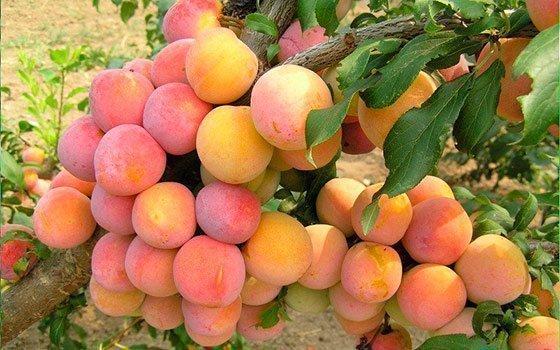 Садовые лайфхаки: как правильно и когда собирать урожай слив? Сорта сливы раннего и среднего срока плодоношения для получения товарной продукции