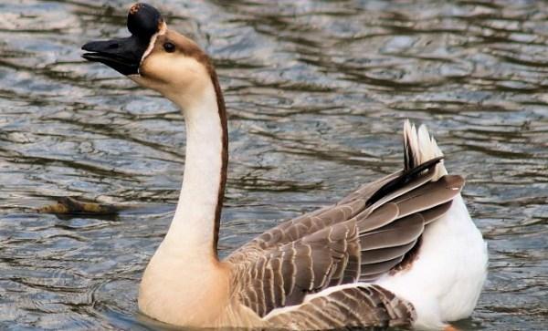 Дикие гуси и казарки виды с фото и описанием пород места