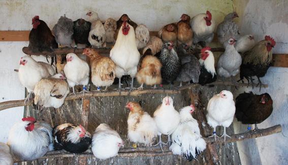 Hedemorahøns i alle varianter