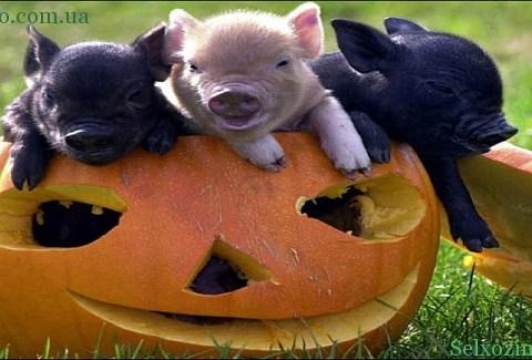 populyarnye-porody-svinej