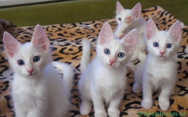 Котята породы - Турецкая ангора