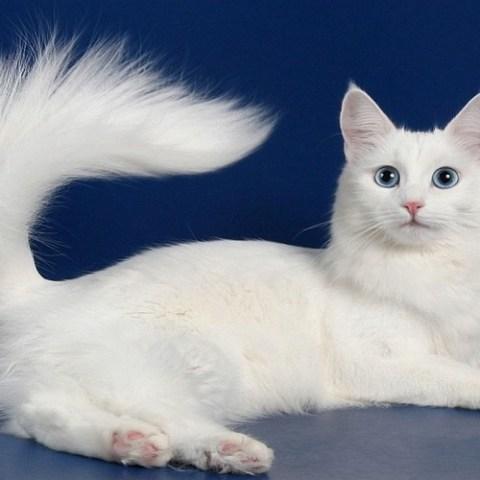 Порода кошек - Турецкая ангора
