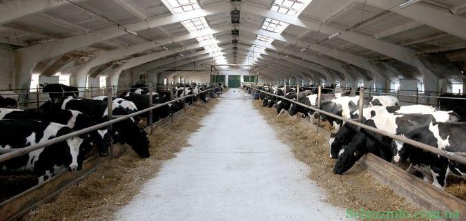 Молочная ферма как бизнес в селе