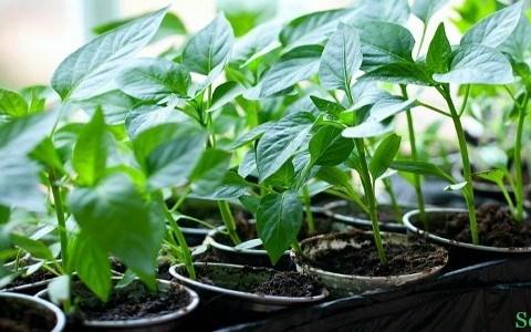 Как выращивать рассаду в домашних условиях