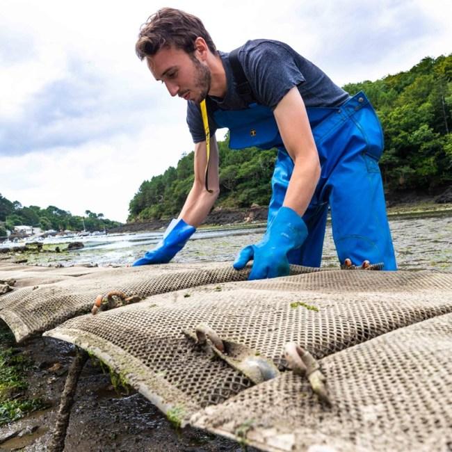 Les huîtres Morvan sont affinées dans la ria de Merrien, en Pays de Quimperlé.