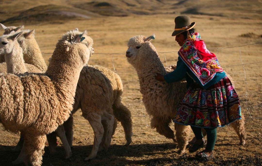 alpacas-foto