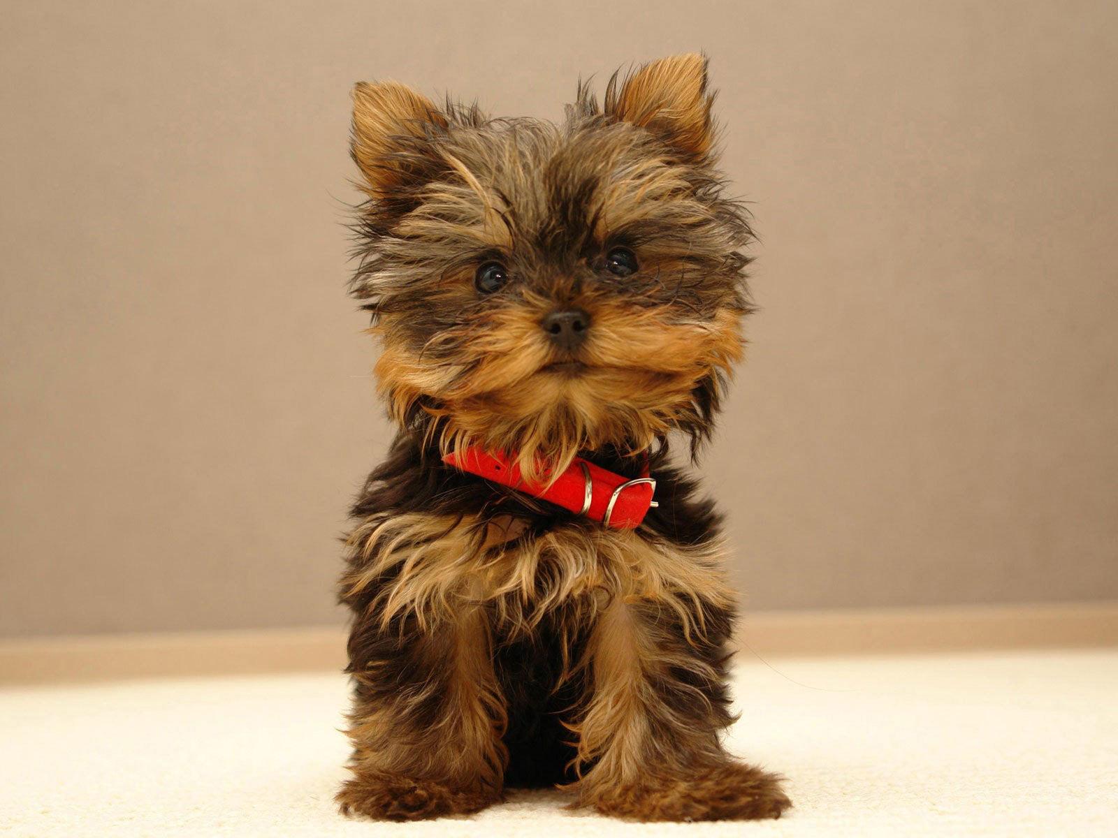 Yorkshire_Terrier