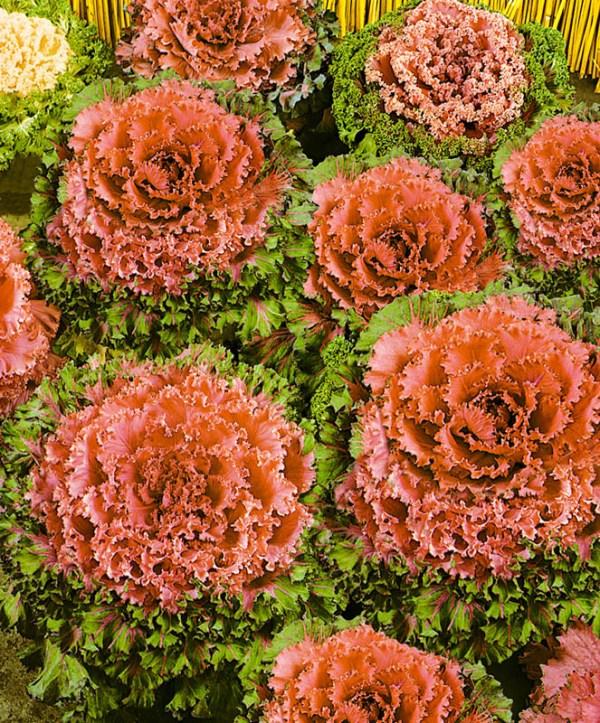 Капуста Коралловая королева декоративная: семена и саженцы ...