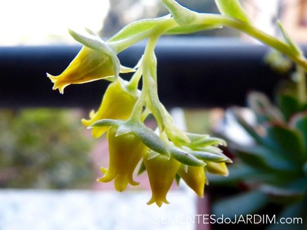 Planta Suculenta Echeveria Pulidonis - Sementes