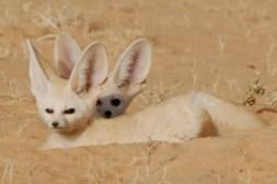 semestafakta-fennec fox2