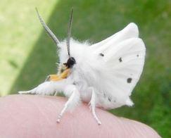 semestafakta-Venezuelan Poodle Moth