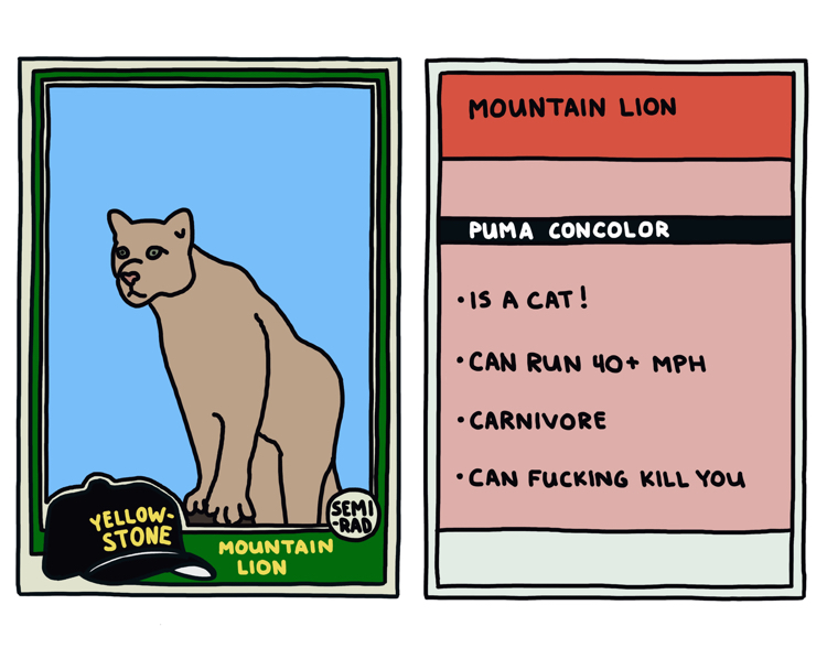 drawing of a yellowstone mountain lion that can kill you