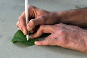 Researchers draw sensors capable of detecting pollutants on a leaf. (Source: UC San Diego)