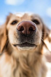 Nose of a hovawart dog, smelling something. Very shallow DOF.