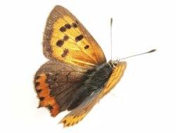 Schmetterling-fliegt
