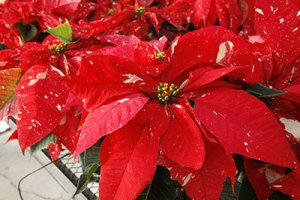 poinsettia_speckled
