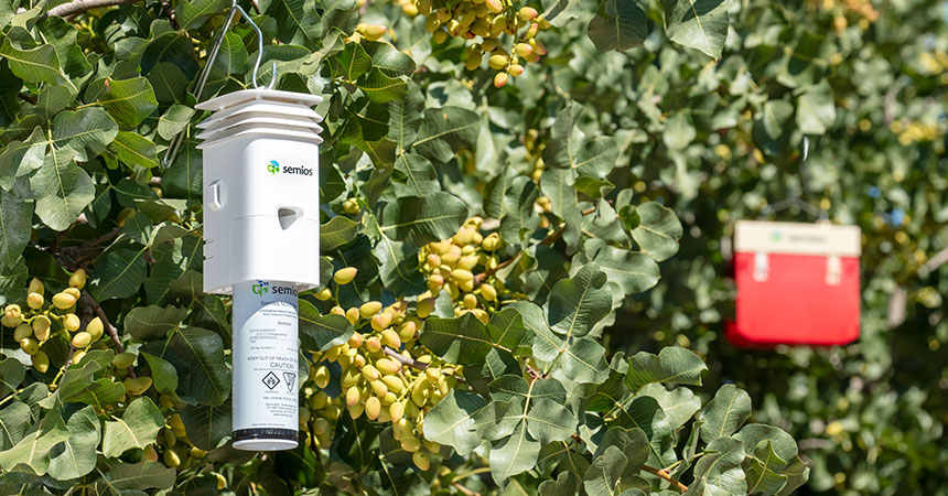 A Semios pheromone dispenser and automated pest camera trap hanging in a pistachio orchard
