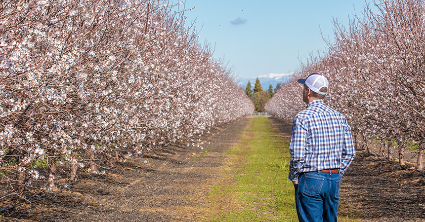 Farmer looking out at an almond orchard