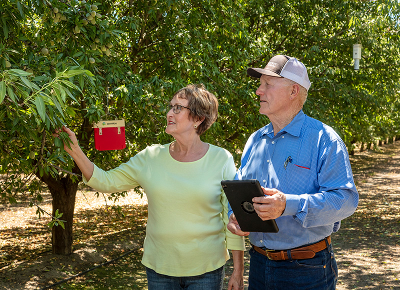 Two farmers examining a tree in an almond orchard