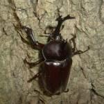 カブトムシの飼い方!成虫の飼育方法